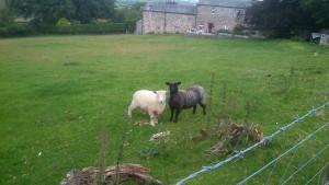 Ryeland Sheep on the farm ©Rachel Gibbs